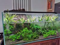 水培百合竹如何快速生根